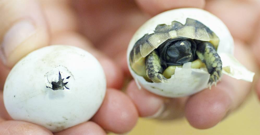 genuine uk captive bred tortoises for sale   tortoise